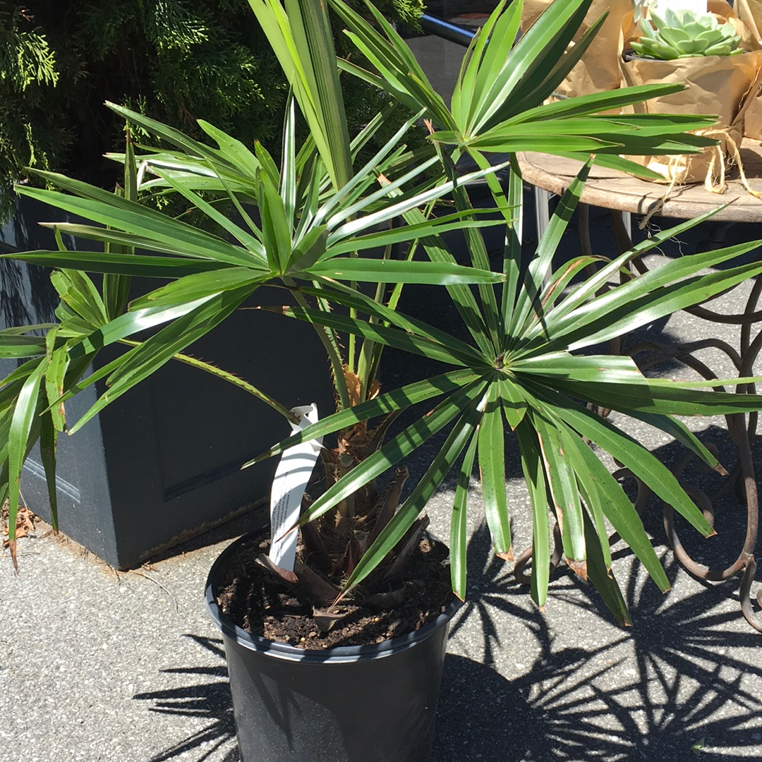 Livisotnia Australis Cabbage Tree Palm