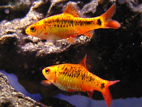 GOLDEN (SACHSI) BARB M - Creepy Critters