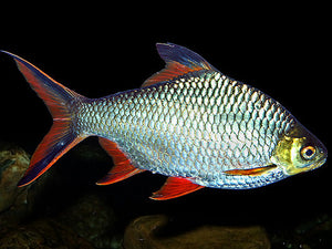 REDTAIL TINFOIL BARB 2