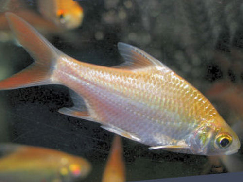 ALBINO RED TAIL TINFOIL BARB 2