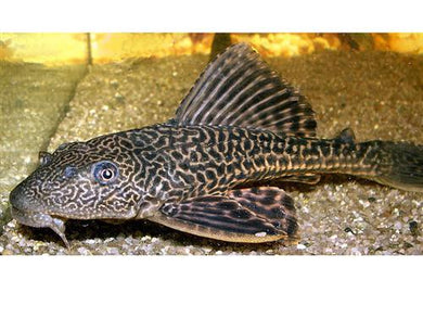 PLECOSTOMUS 3 - Creepy Critters