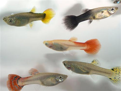 ASSORTED FEMALE GUPPY L - Creepy Critters