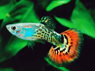 Red King Cobra Male Guppy