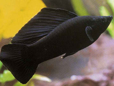 PAIR BLACK SAILFIN MOLLY XL - Creepy Critters