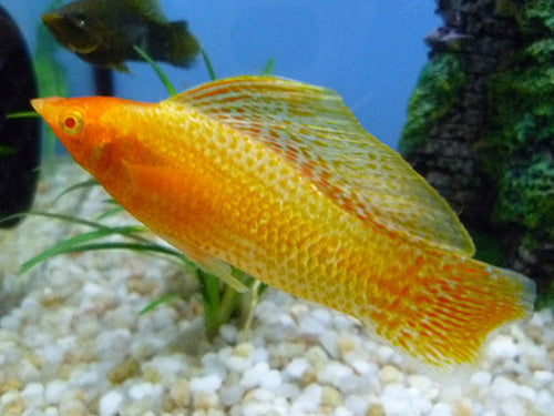 PAIR GOLDEN SAILFIN MOLLY XXL - Creepy Critters