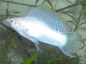 PAIR SILVER SAILFIN MOLLY XL - Creepy Critters