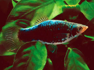 Black Platy Medium-Large