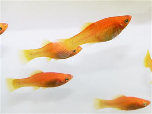 Marigold Variatus Platy Medium-Large