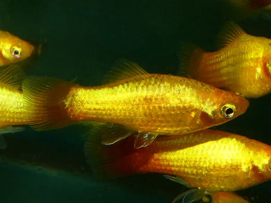 Neon Sunset Platy Medium-Large