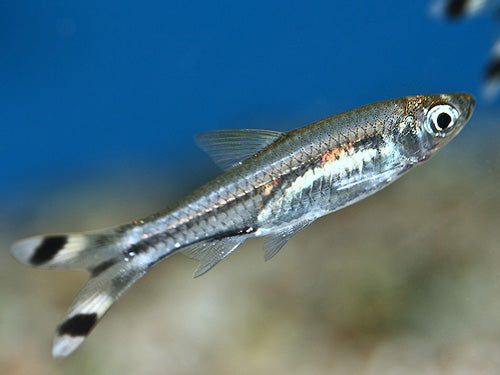 SCISSORTAIL RASBORA ML - Creepy Critters