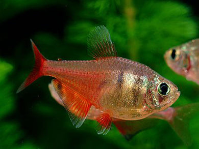 Red Flame Tetra Medium/Large