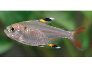 Pristella Tetra Medium/Large