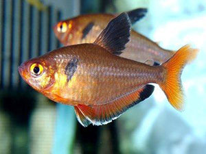 Super Serpae Tetra Extra Large