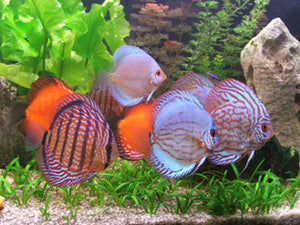Discus Assorted High Quality 2