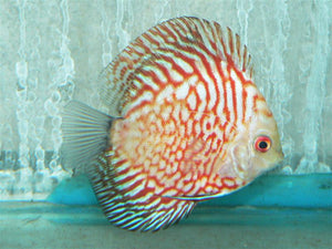 Red Stone Pigeon Blood Discus 3.5-4