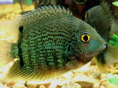 Green Severum Small/Medium