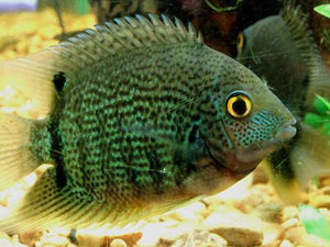 GREEN SEVERUM M - Creepy Critters