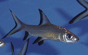 BALA (SILVER) SHARK 2 - Creepy Critters