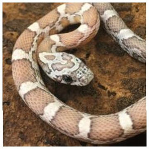 Sunkissed Ghost Corn Snake (Pantherophis guttatus)