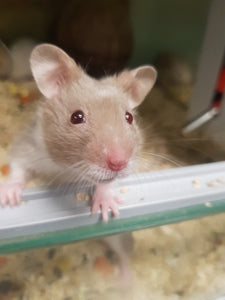 Syrian hamster - Creepy Critters