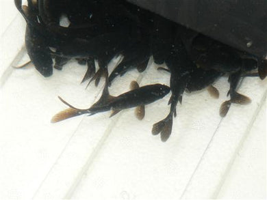 Black Goldfish Small - Creepy Critters