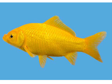 Canary Yellow Goldfish - Creepy Critters