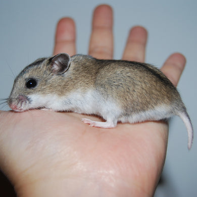 Chinese hamster - Creepy Critters