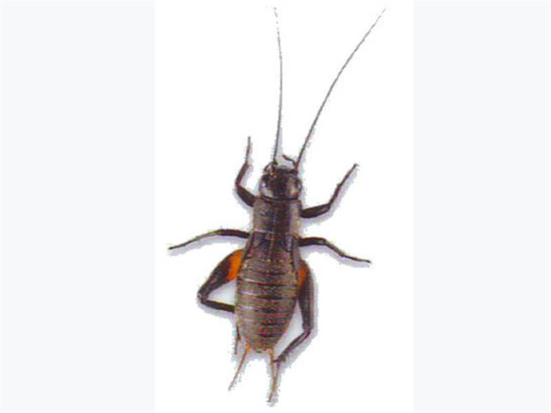 Small Crickets - Creepy Critters