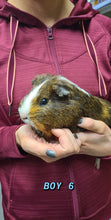 Load image into Gallery viewer, Guinea Pig