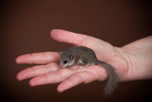 Micro squirrel - Creepy Critters