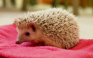 Pygmy hedgehog - Creepy Critters