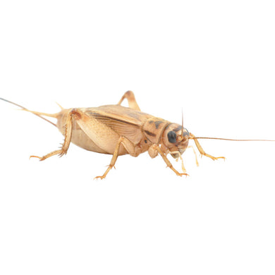 Brown House Crickets - Creepy Critters