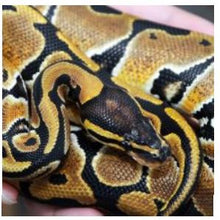 Load image into Gallery viewer, Royal Python (Python regius)