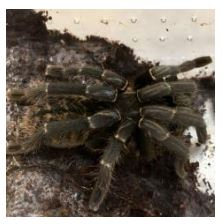 Malaysian Earth Tiger Tarantula (Chilobrachys Fimbriatus)