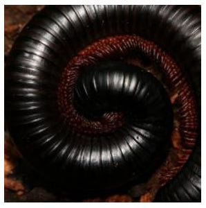African Train Millipede (Archispirostreptus Gigas)