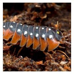 Clown Isopod (Armadillidium Klugii)