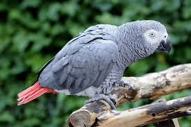 African Grey - Creepy Critters
