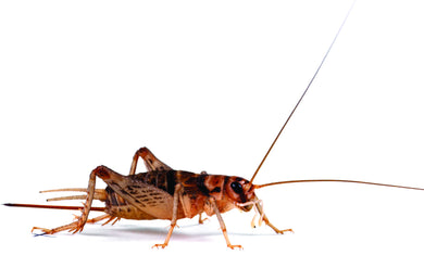 Banded Brown Crickets - Creepy Critters