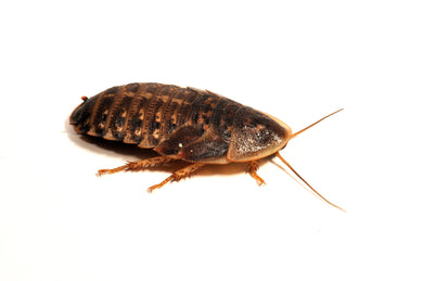 Dubia Roaches (25-30mm) - Creepy Critters