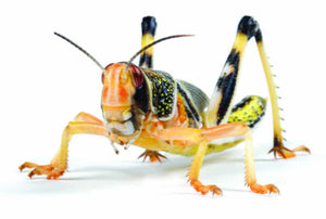 Locusts - Creepy Critters