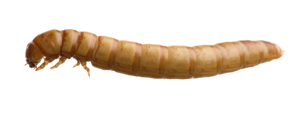 Mealworms (18-26mm) - Creepy Critters
