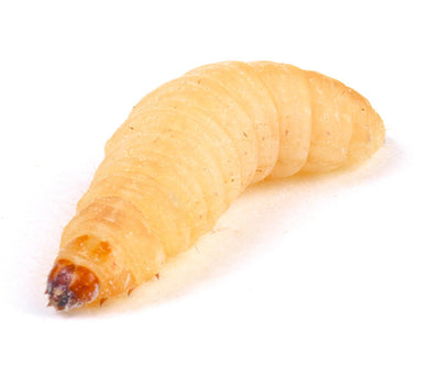 Waxworms 15g - Creepy Critters