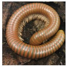 Burmese Beauty Millipede (Spirostreptus SP)