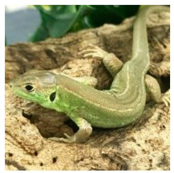 European Green Lizard (Lacerta bilineata)