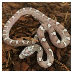 Diffused Ghost Corn Snake (Pantherophis guttatus)