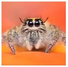 Eyelash Jumping Spiders Pair (Hyllus Diardi)