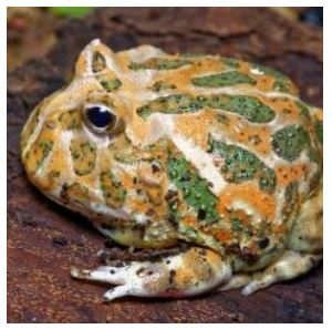 Green Horned Frog (Ceratophrys Cranwelli)