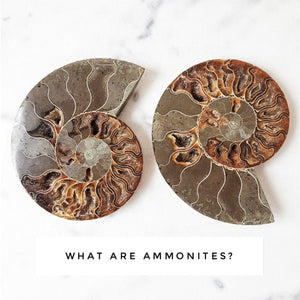 What are Ammonites?