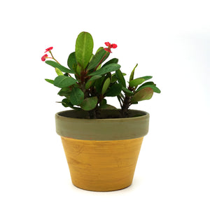 Crown of Thorns planted in a Earthy Pot