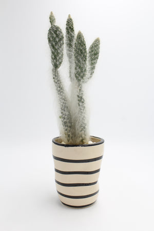 Grand Daddy Cactus in Black and White Striped Pot